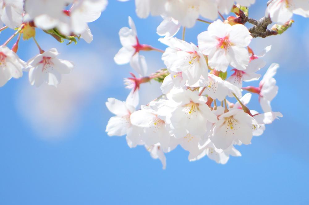 桜が咲くころ